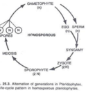 Alternation of generation in Pteridophytes