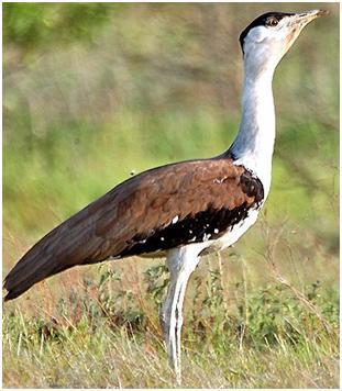 godavan bird